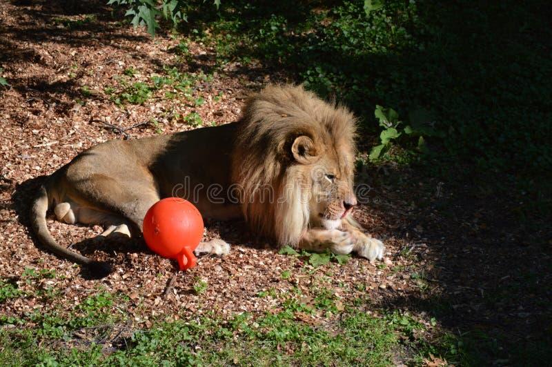 Leão no ar livre fotos de stock