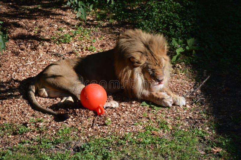 Leão no ar livre foto de stock