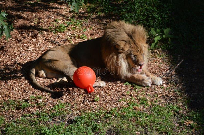 Leão no ar livre fotos de stock royalty free