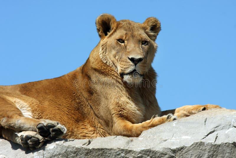 Leão no céu fotografia de stock royalty free