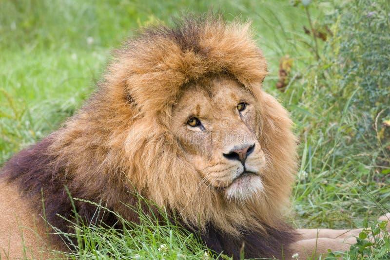 Leão no close up foto de stock