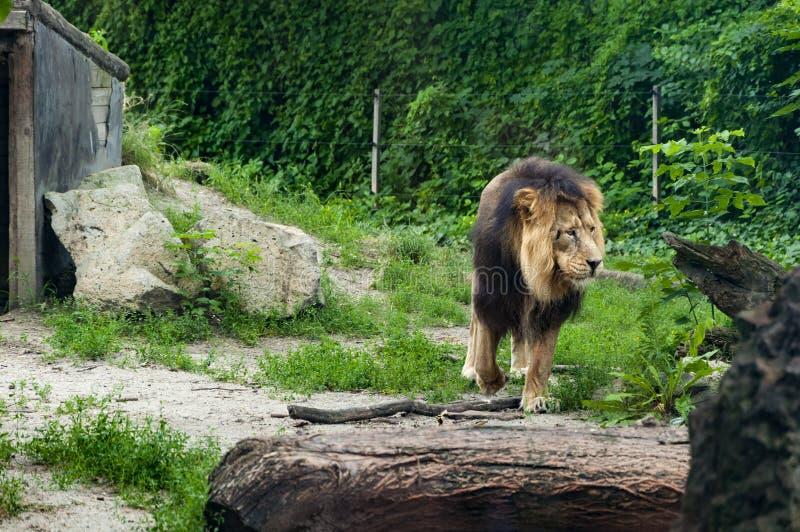 Leão no jardim zoológico de Budapest imagem de stock royalty free