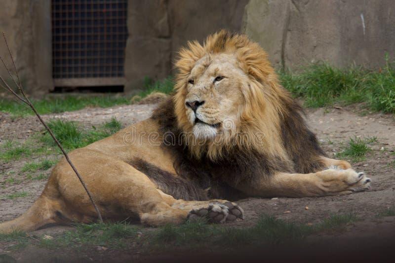 Leão no jardim zoológico de Londres fotografia de stock