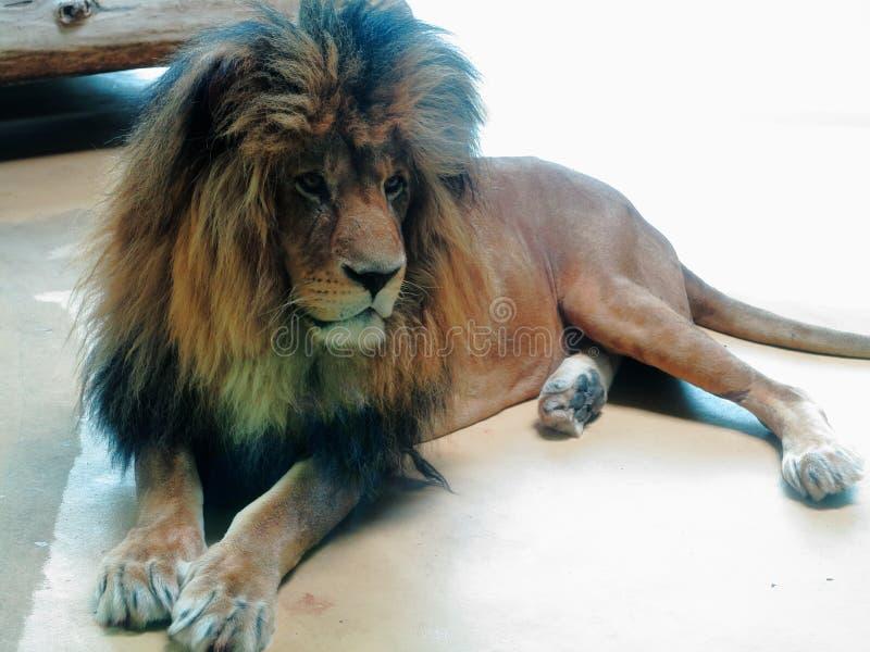 Leão no jardim zoológico no descanso do assoalho imagens de stock