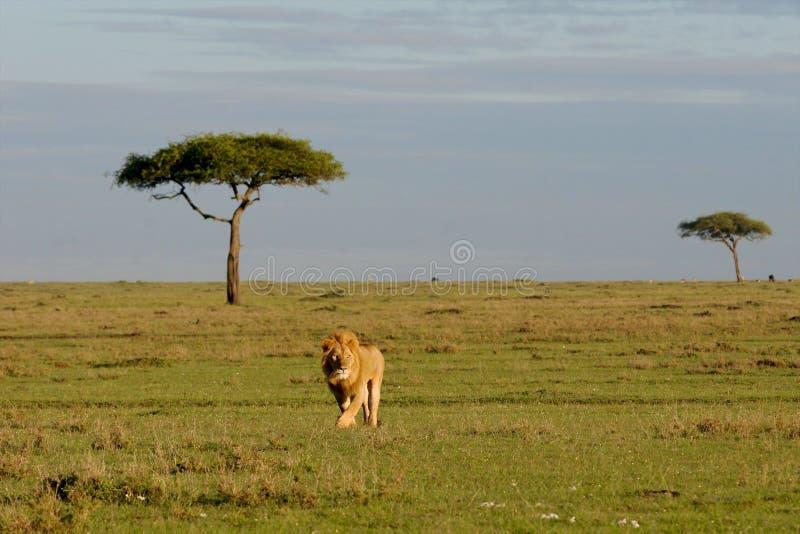 Leão no parque foto de stock