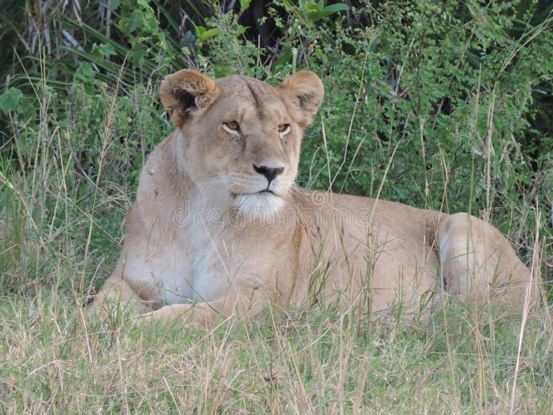 Leão no parque nacional de Serengeti fotografia de stock