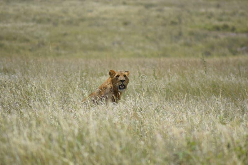 Leão no savana foto de stock royalty free