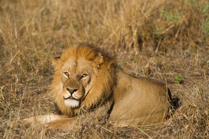 Leão no selvagem fotos de stock