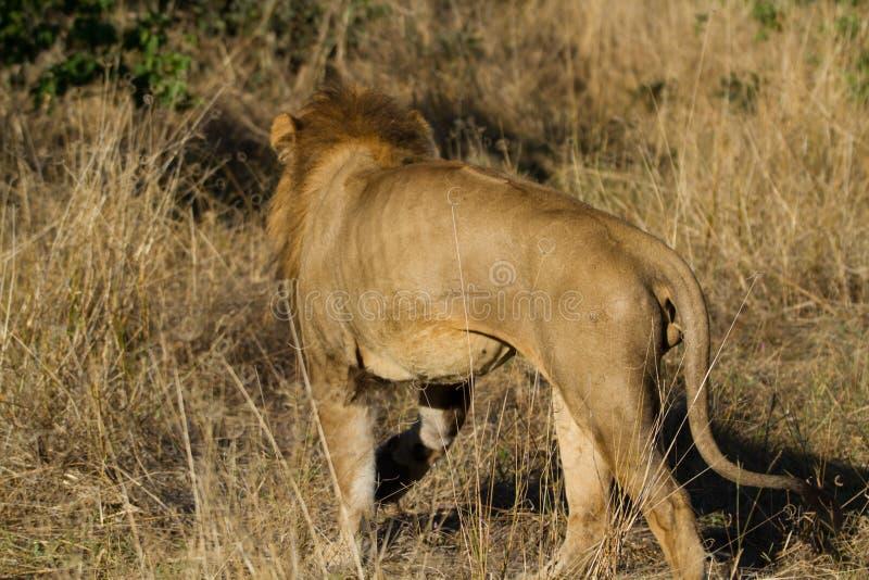 Leão no selvagem imagem de stock royalty free