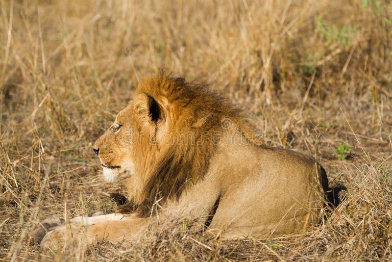 Leão no selvagem imagens de stock