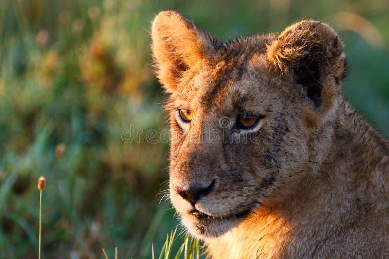 Leão novo foto de stock royalty free