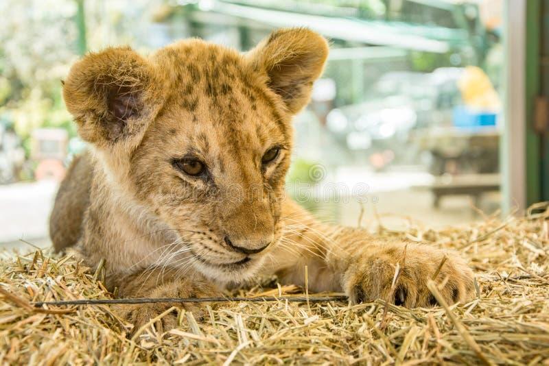 Leão novo bonito imagem de stock royalty free