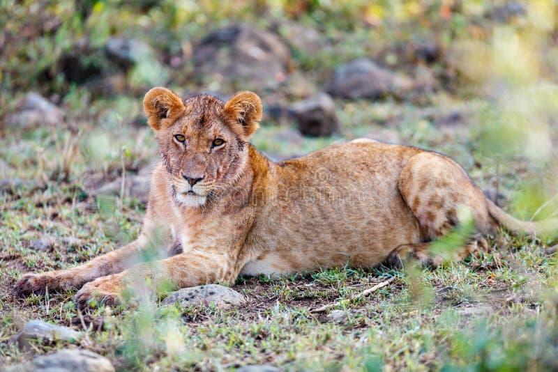 Leão novo em África fotos de stock