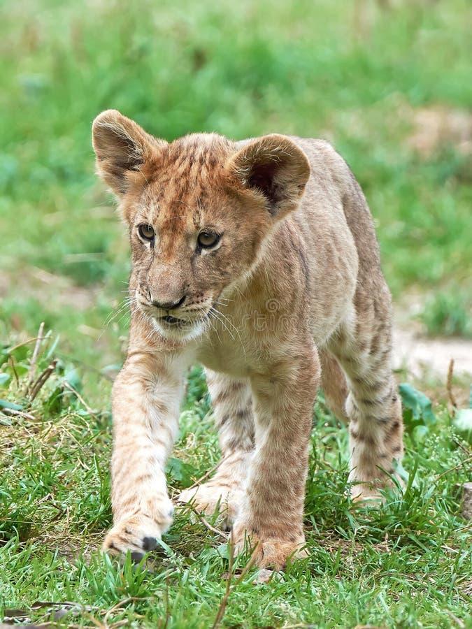 Leão (Panthera leo) fotos de stock