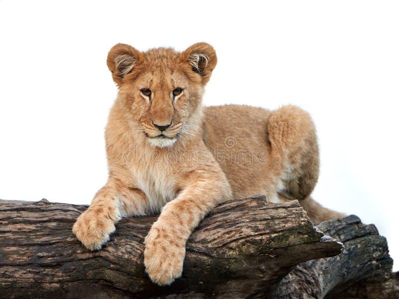 Leão (Panthera leo) foto de stock royalty free