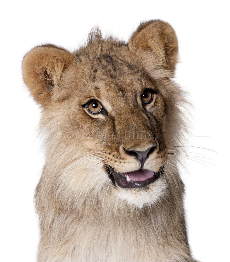 Leão, Panthera leo, 9 meses velho foto de stock royalty free