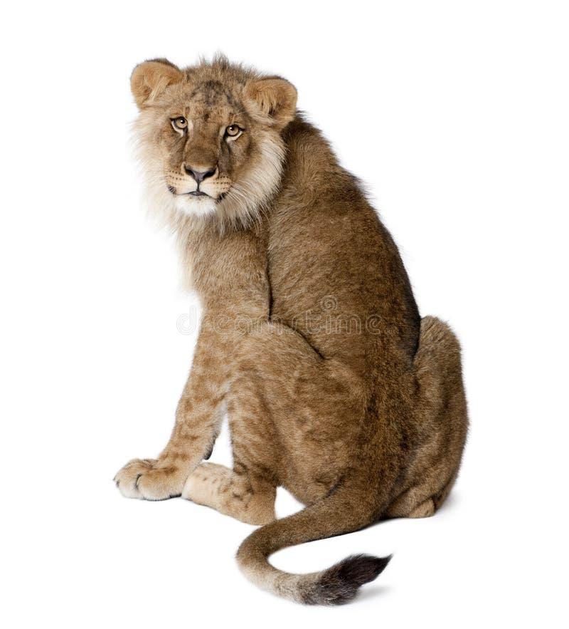 Leão, Panthera leo, 9 meses velho, na frente de um fundo branco fotos de stock royalty free