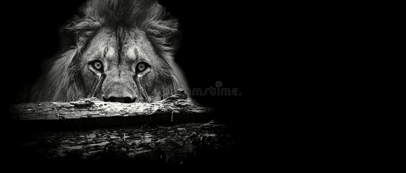 Leão pelo tribo fotografia de stock