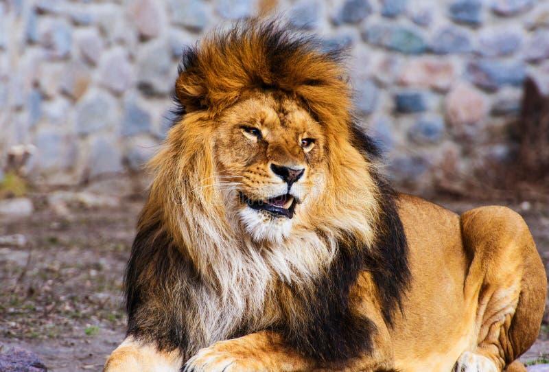 Leão poderoso engraçado imagens de stock royalty free