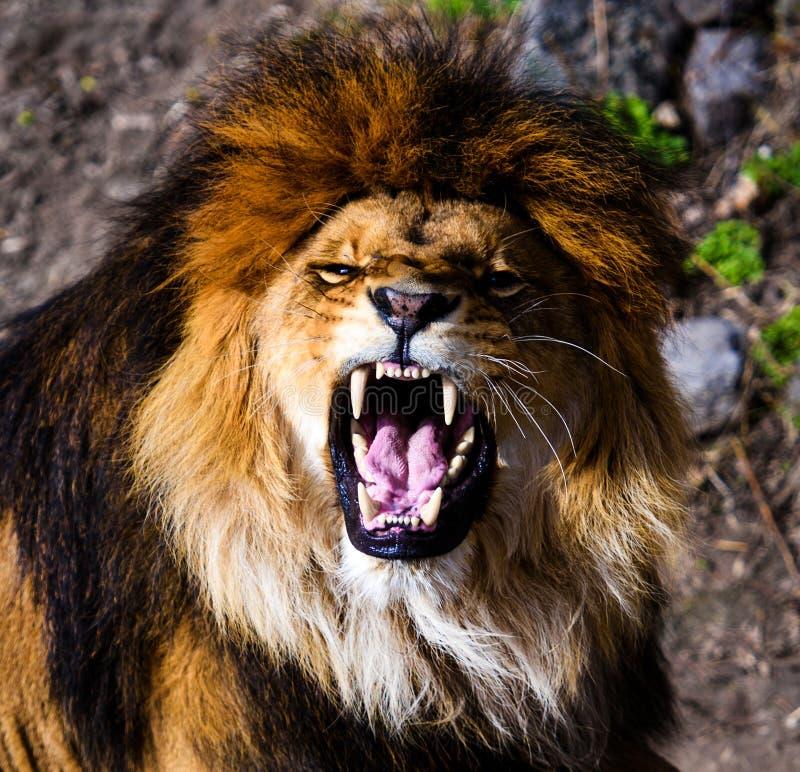 Leão poderoso irritado fotografia de stock royalty free