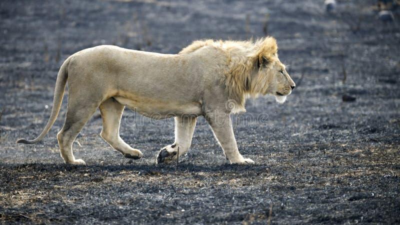 Leão que anda na cratera de Ngorongoro em uma área da queimadura do controle fotografia de stock