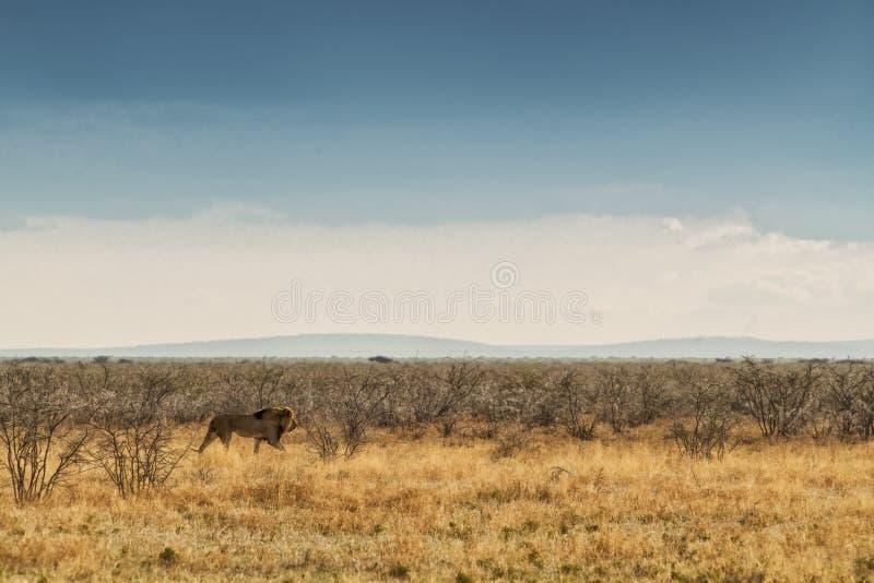 Leão que anda no savana africano Com luz do por do sol, vista lateral nafta África imagens de stock royalty free