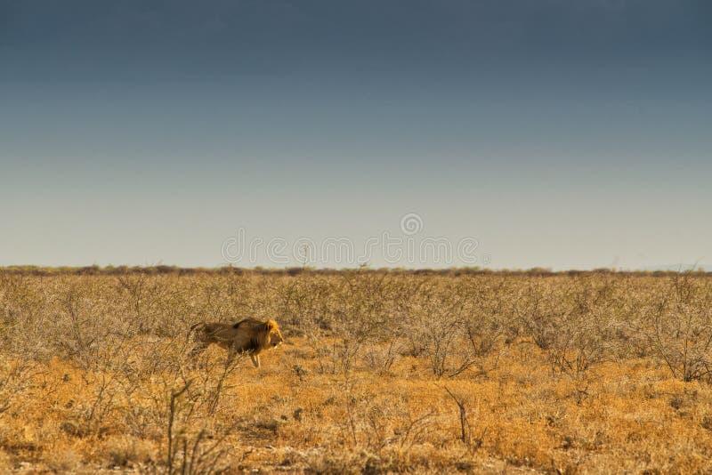 Leão que anda no savana africano Com luz do por do sol, vista lateral nafta África imagem de stock royalty free