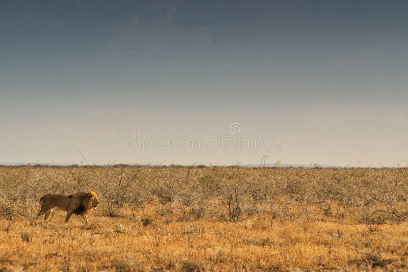 Leão que anda no savana africano Com luz do por do sol, vista lateral nafta África fotografia de stock