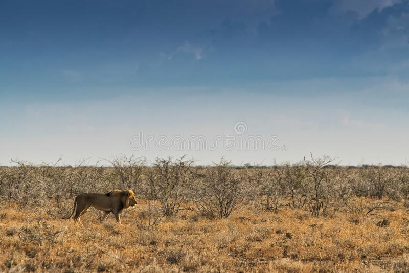 Leão que anda no savana africano Com luz do por do sol, vista lateral nafta África fotos de stock