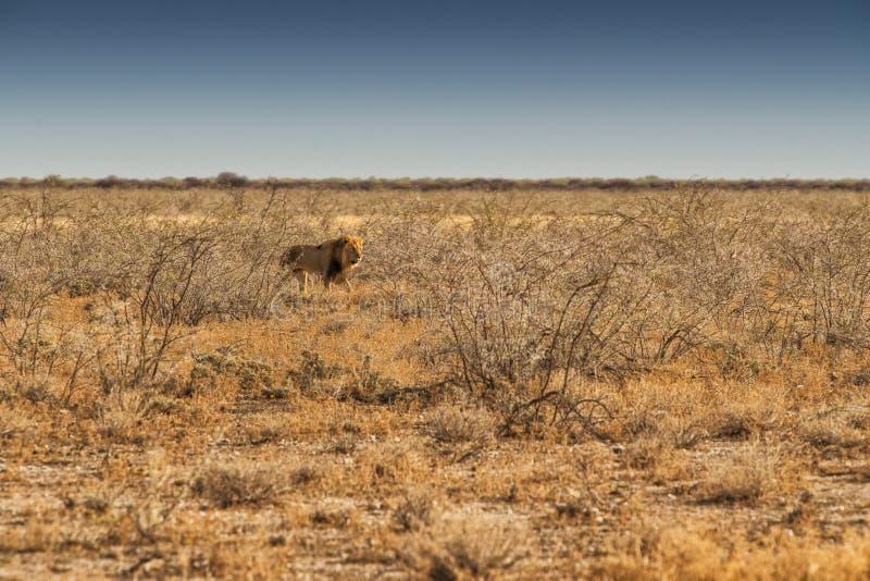 Leão que anda no savana africano Com luz do por do sol, vista lateral nafta África fotos de stock royalty free