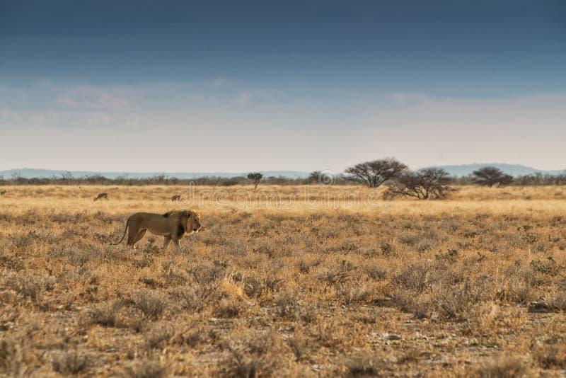 Leão que anda no savana africano Com luz do por do sol, vista lateral nafta África imagens de stock