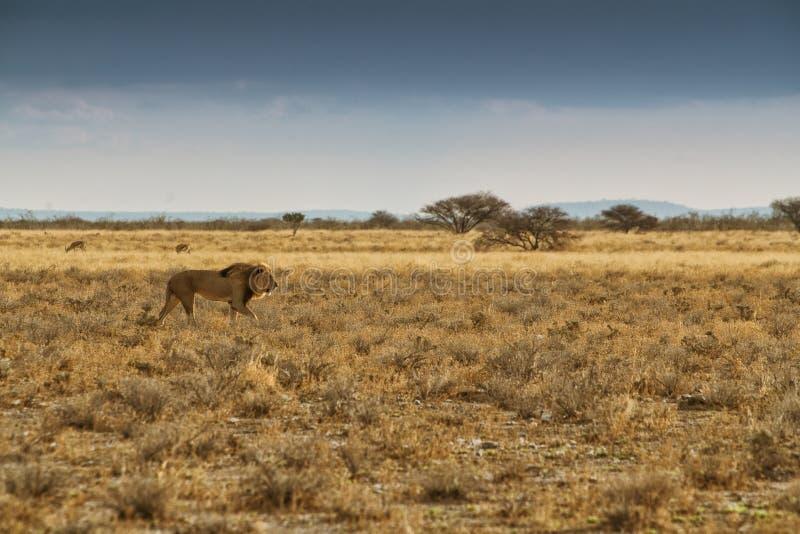 Leão que anda no savana africano Com luz do por do sol, vista lateral nafta África foto de stock