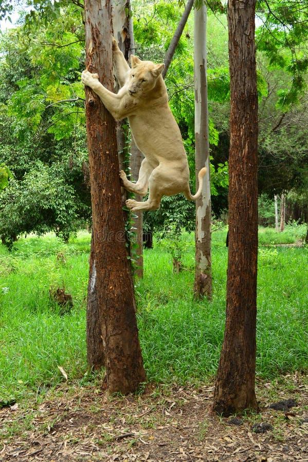 Leão que escala a árvore imagens de stock