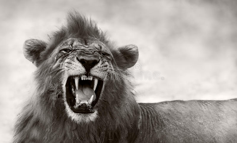 Leão que indica os dentes perigosos foto de stock