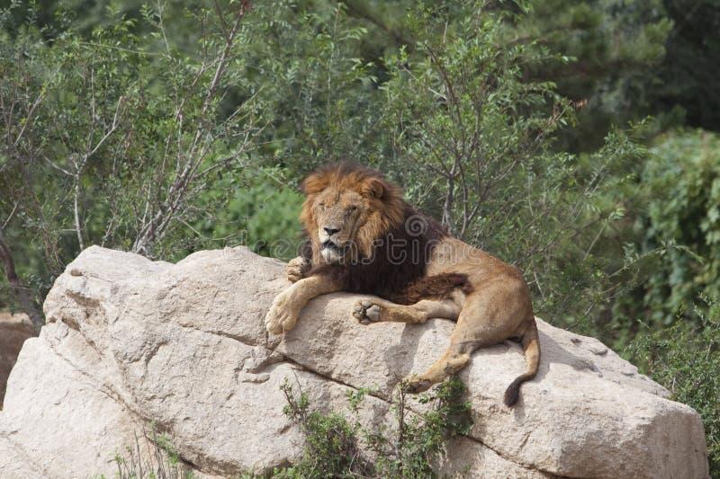 Leão que napping imagem de stock