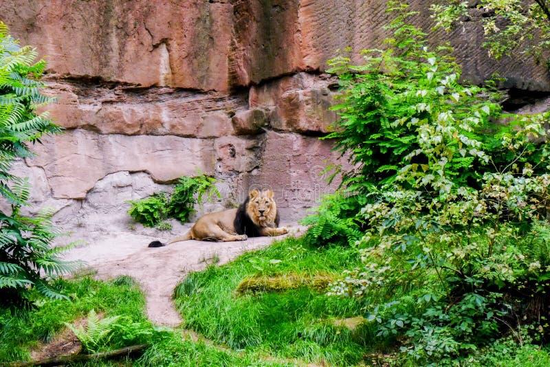 Leão que olha para trás fotografia de stock royalty free