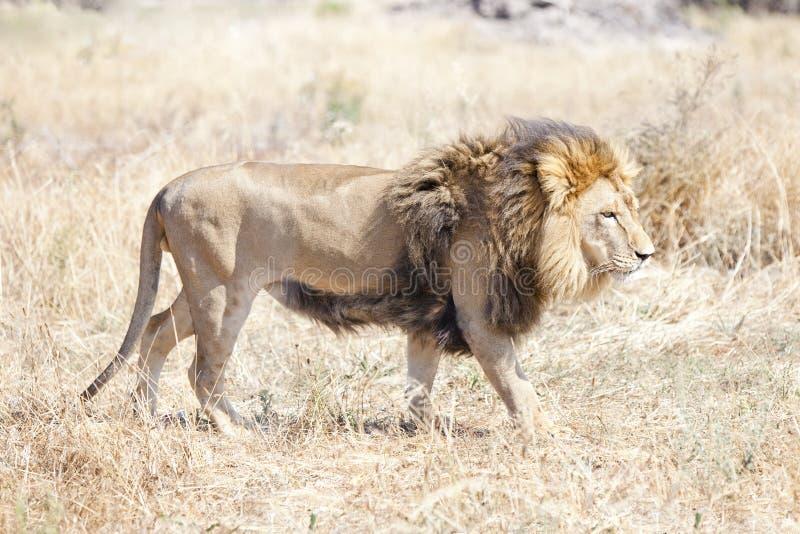 Leão que quer saber o savana africano quente fotos de stock royalty free