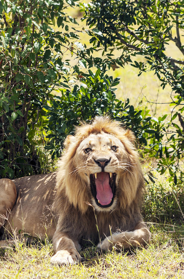 Leão que ruje fotografia de stock royalty free