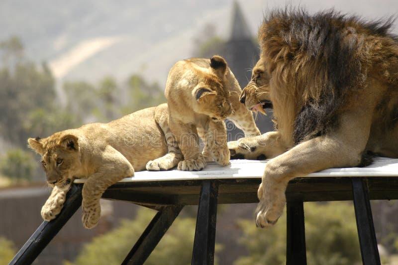Leão que Scolding Cubs imagem de stock royalty free