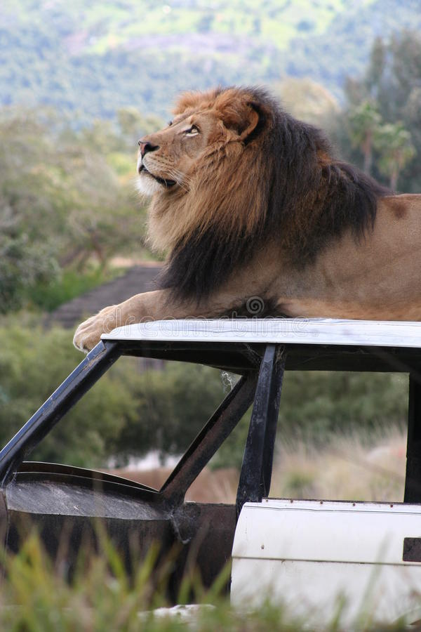 Leão que senta-se em um carro fotografia de stock royalty free