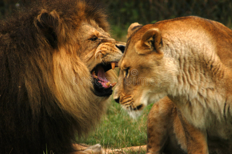 Leão Raging foto de stock