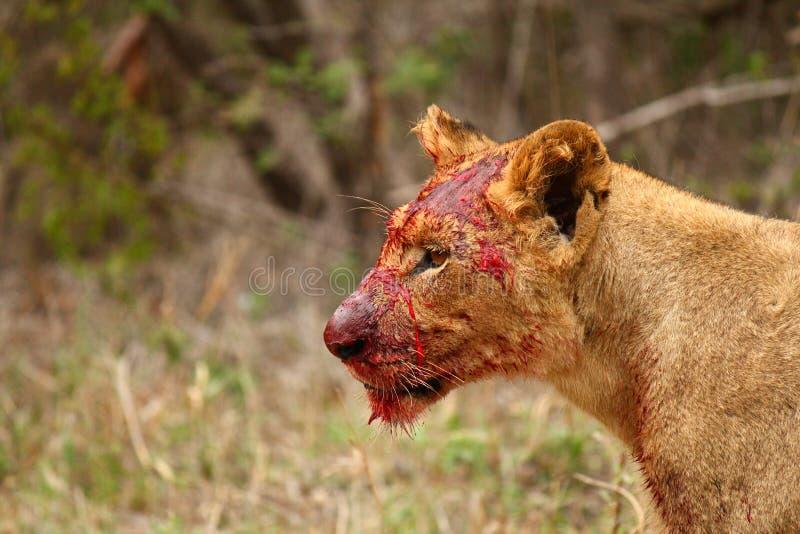 Leão sangrento foto de stock royalty free