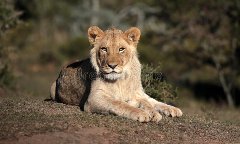 Leão secundário novo do homem adulto África do Sul foto de stock royalty free