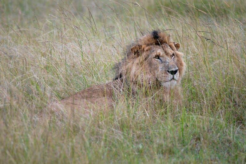 Leão selvagem das fotos que encontra-se na grama do savana africano, fotografada em Kenya imagem de stock