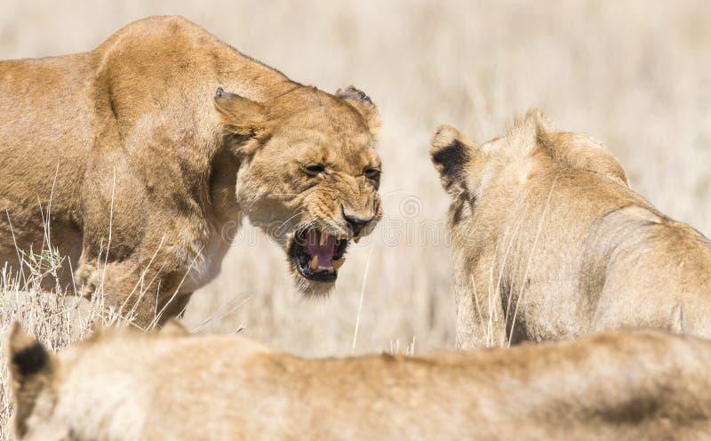 Leão selvagem irritado em África foto de stock royalty free