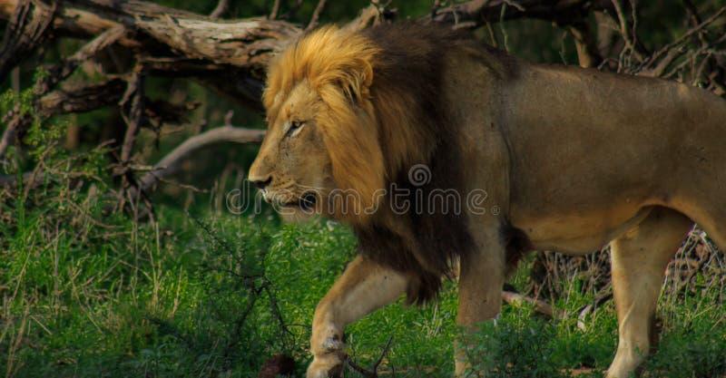 Leão solitário na patrulha imagem de stock royalty free