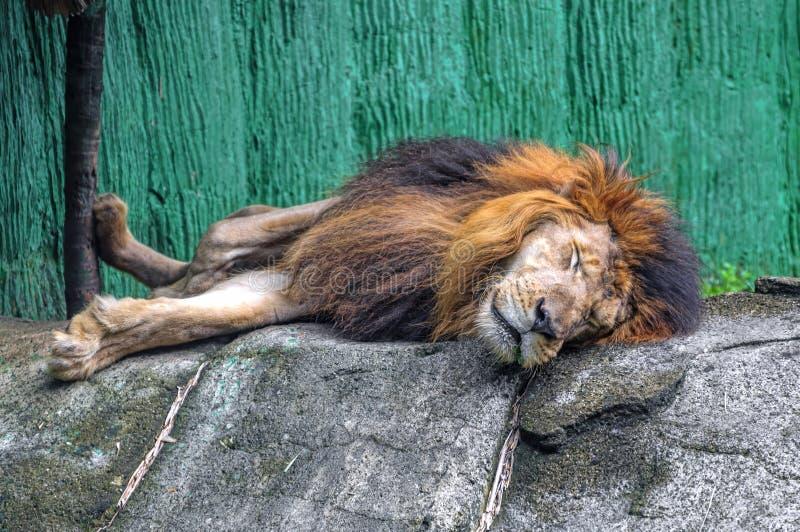 Leão sonolento fotos de stock