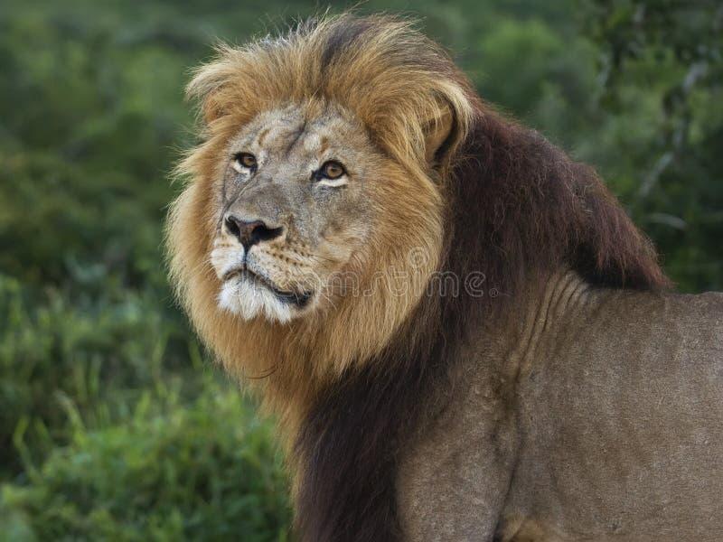 Leão Tsama de Addo fotografia de stock