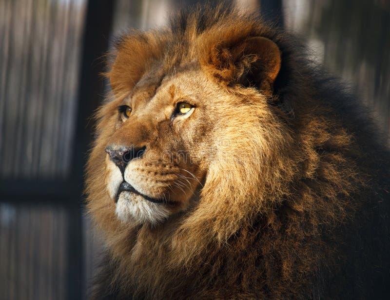 Leão velho fotos de stock royalty free