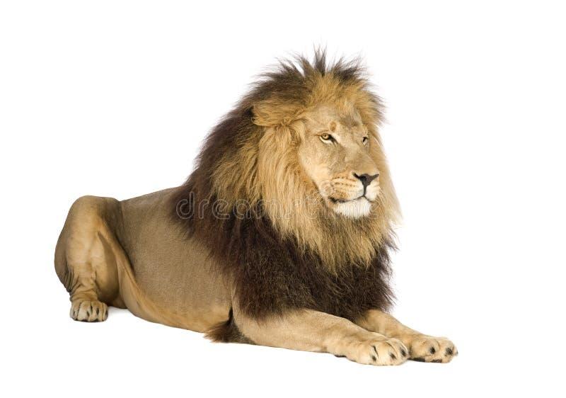 León (4 y una mitad de los años) - Panthera leo imagenes de archivo